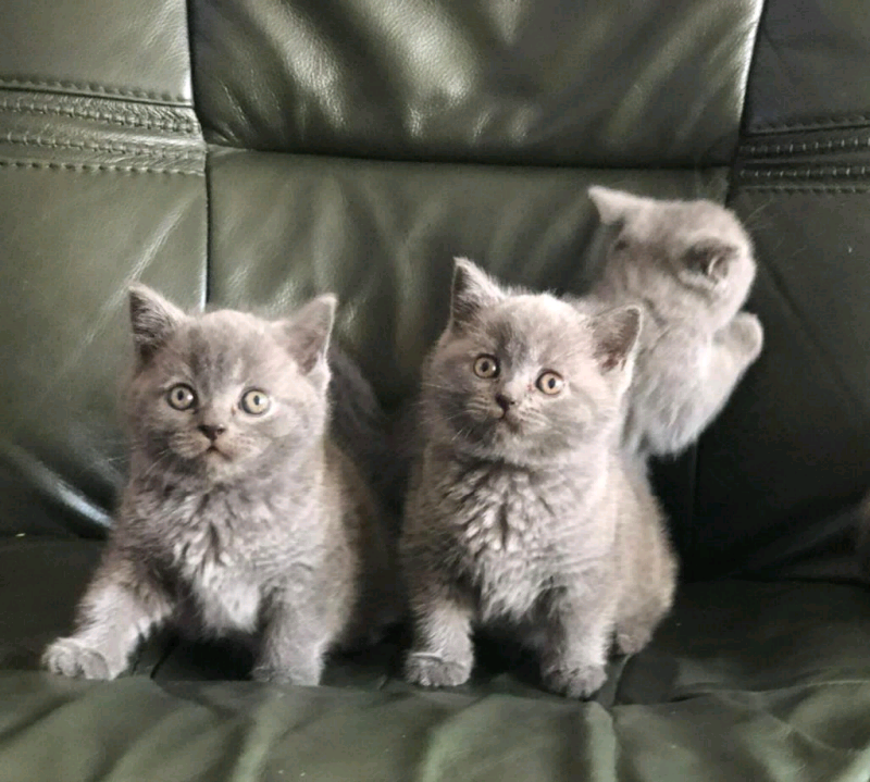Gccf Kittens Blue Lilac British Shorthair Cats Classified Items